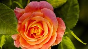 rose-3813693_960_720