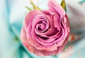 rose-3142529_960_720 (1)